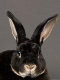 Rex Rabbit at the Sunset Zoo, Kansas Photographic Print by Joel Sartore