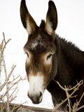 Portrait of a Mule in Fresh Snow Fotografie-Druck von Stephen St. John