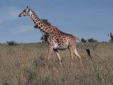 Masai Giraffe Strolling the Grasslands of Kenya Reproduction photographique par Ira Block