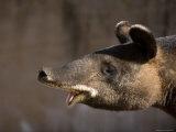 Mountain Tapir at the Cheyenne Mountain Zoo, Colorado Lámina fotográfica por Sartore, Joel