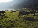 Switzerland, Appenzell, Cows Grazing in Field, Side View Reproduction photographique par  Brimberg & Coulson