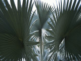 Singapore: Palm Trees in a Public Park Reproduction photographique par  Brimberg & Coulson