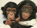 Portrait of Two Young Laboratory Chimps Used in Aids Research Reproduction photographique par Steve Winter