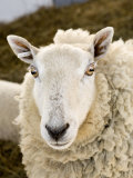 Portrait of a Sheep with Ear Tag, Pennsylvania Fotografisk tryk af Tim Laman