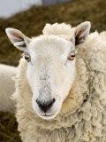 Portrait of a Sheep with Ear Tag, Pennsylvania Stampa fotografica di Tim Laman