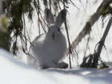 Snowshoe Hare Pauses under a Fur Tree in the Snow, Colorado Fotografisk tryk af Kate Thompson