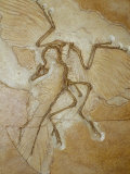 The Earliest Bird, Archaeopteryx, Fossil Skeleton with Feathers Fotografisk tryk af Jason Edwards