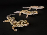 Three Female Leopard Geckos at the Zoo, Sunset Zoo, Kansas Fotografisk tryk af Joel Sartore