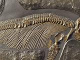 The Ribs and Spine of Ichthyosaur Fossil Stenopterygius Quadriscissus, Australia Fotografisk tryk af Jason Edwards
