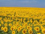 Sunflowers in Full Bloom, Colorado Fotografisk tryk af Michael S. Lewis