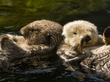Two Captive Sea Otters Floating Back to Back Photographic Print by Tim Laman