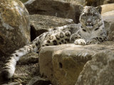 The Watchful Stare of a Snow Leopard Belies its Relaxed Appearance, Melbourne Zoo, Australia Fotografie-Druck von Jason Edwards