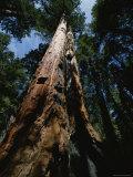 Skyward View of Towering Sequoia Trees, California Reproduction photographique par James P. Blair