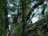 Spotted Owl Perched on the Moss-Draped Limb of a Tree Reproduction photographique par James P. Blair