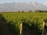 Vineyards in the Mendoza Valley with the Andes in the Background Fotografisk tryk af Michael S. Lewis