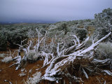 Tangle of Snow-Covered Branches in Front of Small Trees or Shrubs, Utah Reproduction photographique par James P. Blair