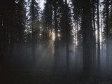 The Morning Sun Filters Through Redwood Trees, California Reproduction photographique par James P. Blair