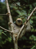 Three-Toed Sloth Nestles in the Crotch of a Young Tree, Costa Rica Fotografisk tryk af Mattias Klum
