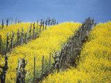 Flowering Charlock in Carneros Region, Napa Valley, Calif. Photographic Print by Hendrik Holler