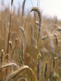 Ripe Barley Ears in the Field Photographic Print by Peter Rees