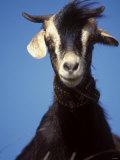 A Single Goat Impressão fotográfica