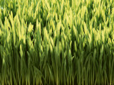 Wheatgrass Photographic Print by Ulrich Kerth