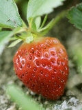 Strawberry on the Plant Photographic Print by Isabelle Rozenbaum