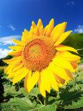 Sunflower Stampa fotografica