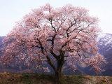 Fleurs de cerisier Reproduction photographique