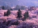 Kirschblüten Fotografie-Druck