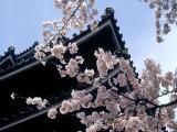 Cherry Blossoms, Matsue Castle, Shimane, Japan Fotografie-Druck