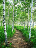 White Birch Lane Fotografie-Druck