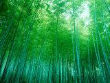 Forêt de bambous à Sagano (Kyoto), Japon Toile tendue sur châssis
