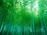 Bamboo Forest, Sagano, Kyoto, Japan Photographic Print