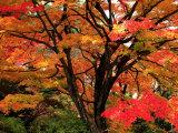 Maple Leaves Fotoprint