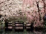 Cerezos en floración, Mishima Taisha Shrine, Shizuoka Reproducción de lámina sobre lienzo