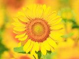 Sunflower Photographic Print