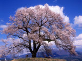 Kirsikankukat Valokuvavedos