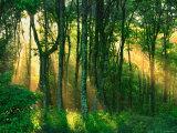 Solstrålar genom träden Fotoprint