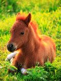 Pony Fotografie-Druck