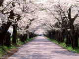Row of Cherry Trees Reproduction photographique