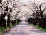 Row of Cherry Trees Fotografie-Druck