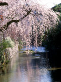 Cherry Blossoms and a River Photographic Print