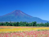 Cosmos Fields & Mt. Fuji, Oshino, Yamanashi, Japan Fotografie-Druck