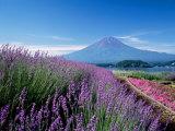 Mt. Fuji and a Lavender Bush Fotoprint