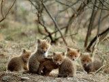 Fox Cubs Lámina fotográfica