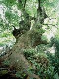 Old Zelkova Tree Fotoprint