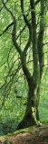 Moss Growing on a Beech Tree, Perthshire, Scotland Fotografisk trykk