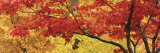Autumnal Leaves on Maple Trees in a Forest Lámina fotográfica por Panoramic Images,