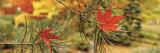 Maple Leaves Stuck on a Pine Tree Branch, Oregon, USA Fotografisk trykk